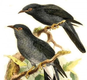 PAC1458E49AGREY-BELLIED-CUCKOO