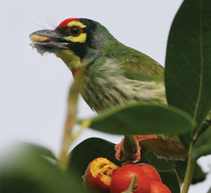 PAC1C9C0BF3COPPERSMITH-BARBET