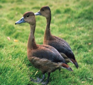 PAC3F230A24LESSER-WHISTLING-DUCK