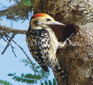 PAC7B61252BYELLOW-CROWNED-WOODPECKER