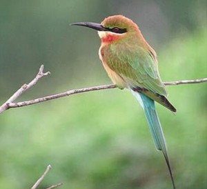PAC90962B0CBLUE-TAILED-BEE-EATER