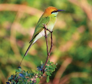 PAC9A8B8550GREEN-BEE-EATER