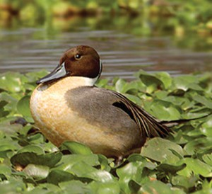 PACE43B9431NORTHERN-PINTAIL