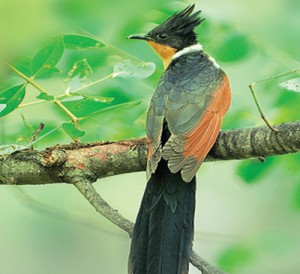 PACE643048BCHESTNUT-WINGED-CUCKOO